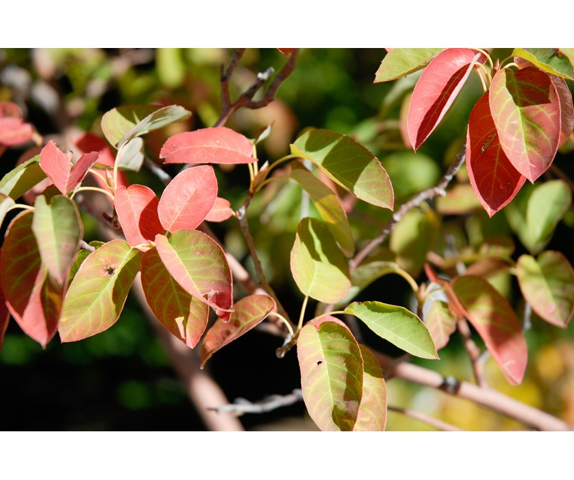 Shadblow Serviceberry