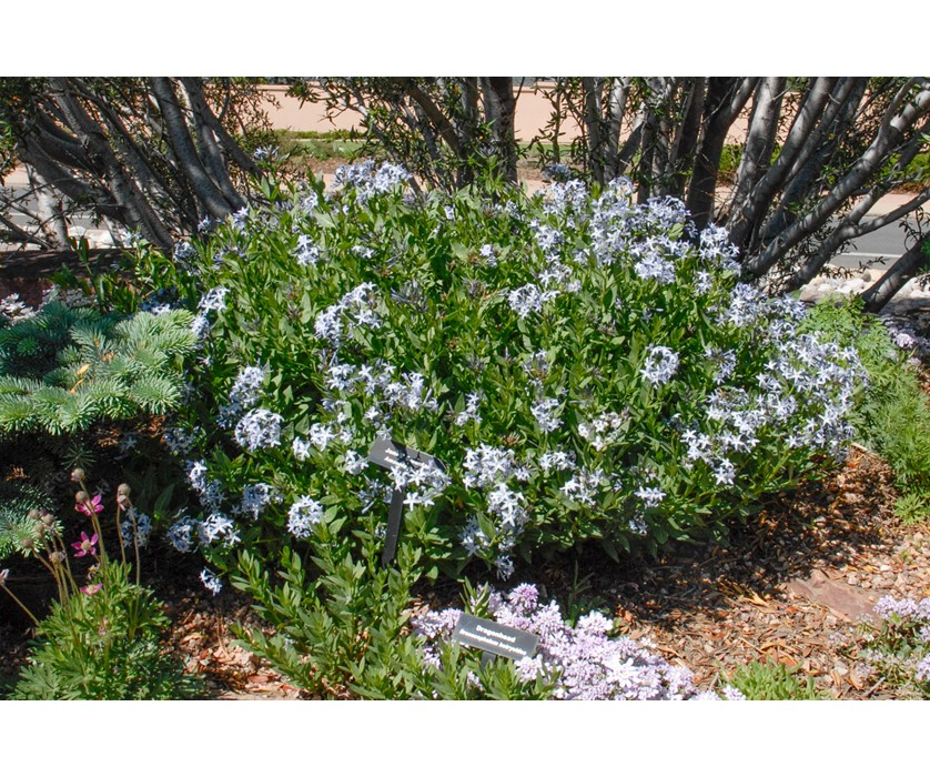 Colorado Desert Blue Star