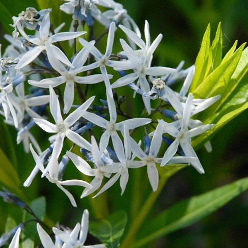 Eastern Blue Star