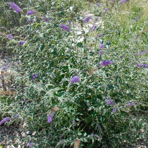 Colorado Springs Utilities Xeriscaping Butterfly Bush