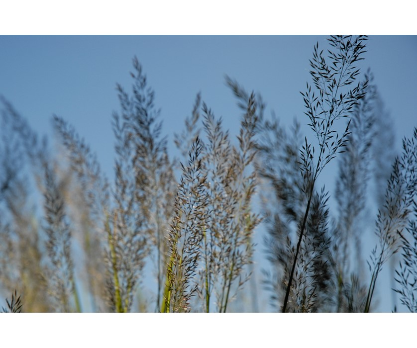 Korean Feather Reed Grass
