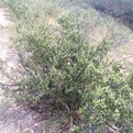 Mountain Mahogany