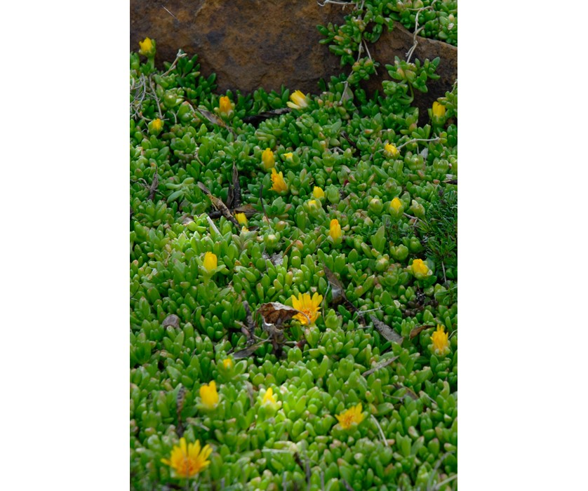 Compact Yellow Iceplant