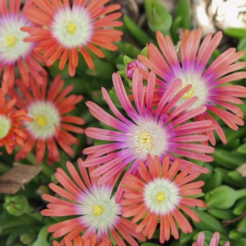 Red Mountain Iceplant