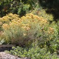 Baby blue rabbitbrush