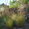 Arizona Fescue