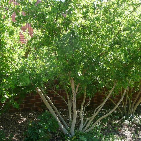 Colorado springs utilities xeriscaping new mexican privet - Olive garden colorado springs co ...
