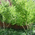 New Mexican Privet