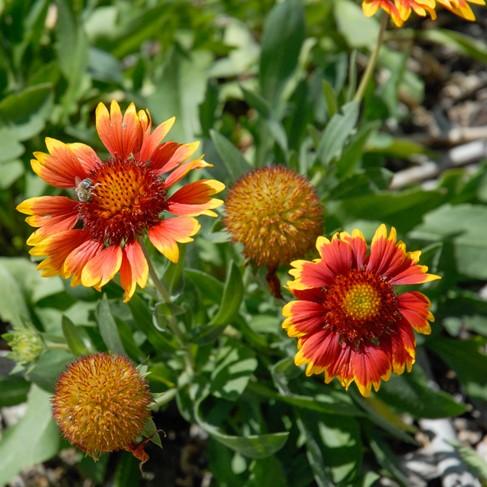 Colorado springs utilities xeriscaping goblin blanket flower goblin blanket flower mightylinksfo