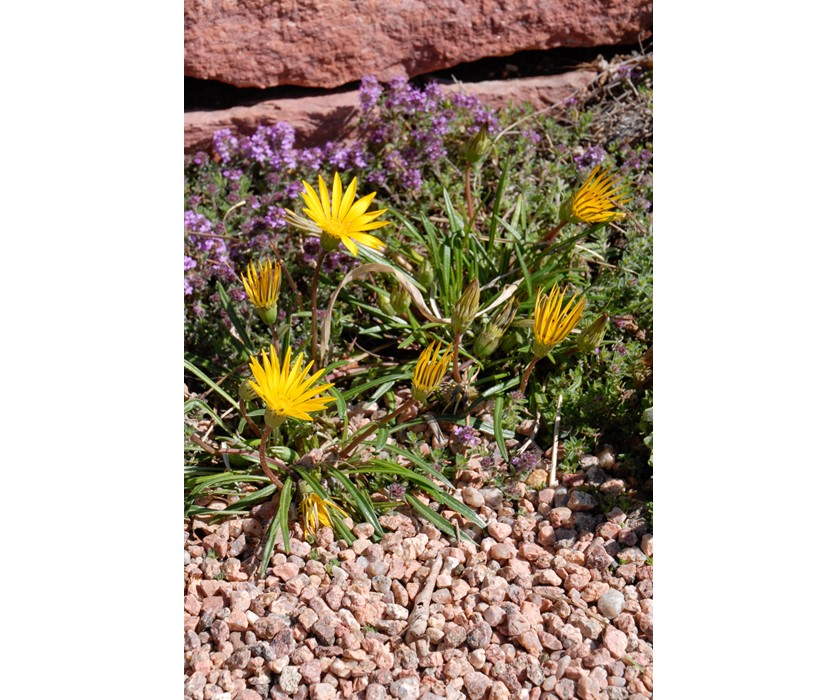 Colorado Gold Gazania