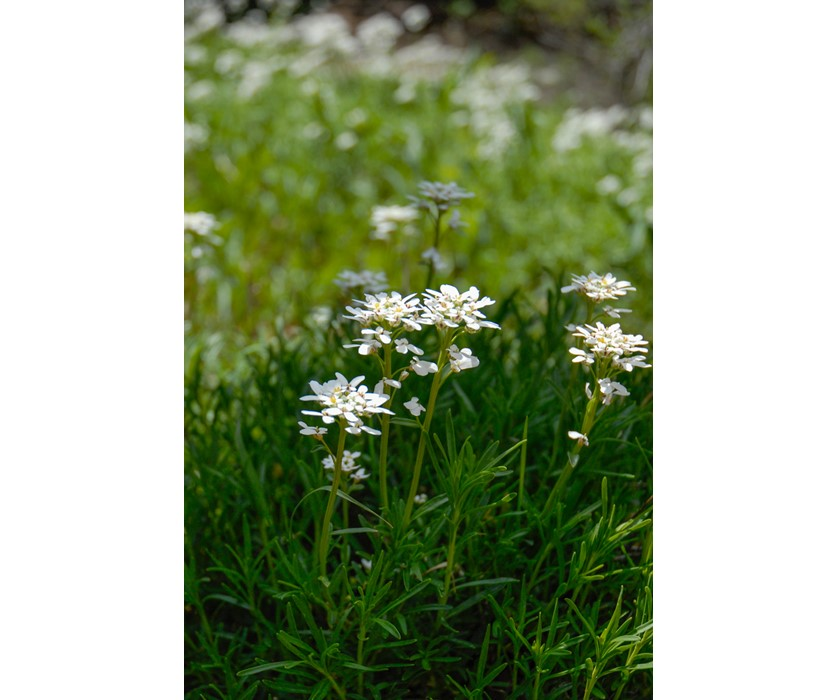 Snowflake Candytuft