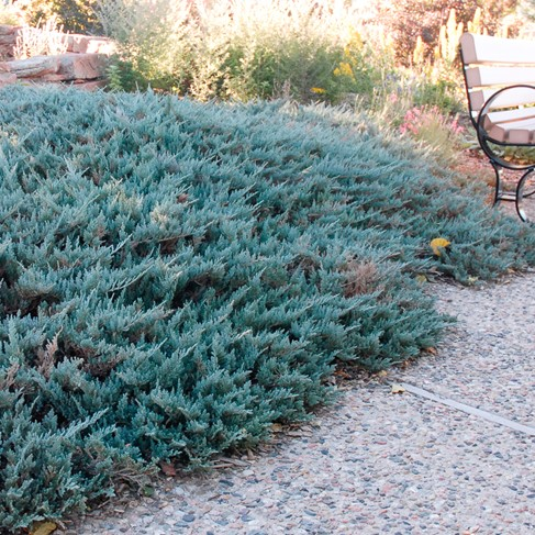 Colorado Springs Utilities Xeriscaping Blue Chip
