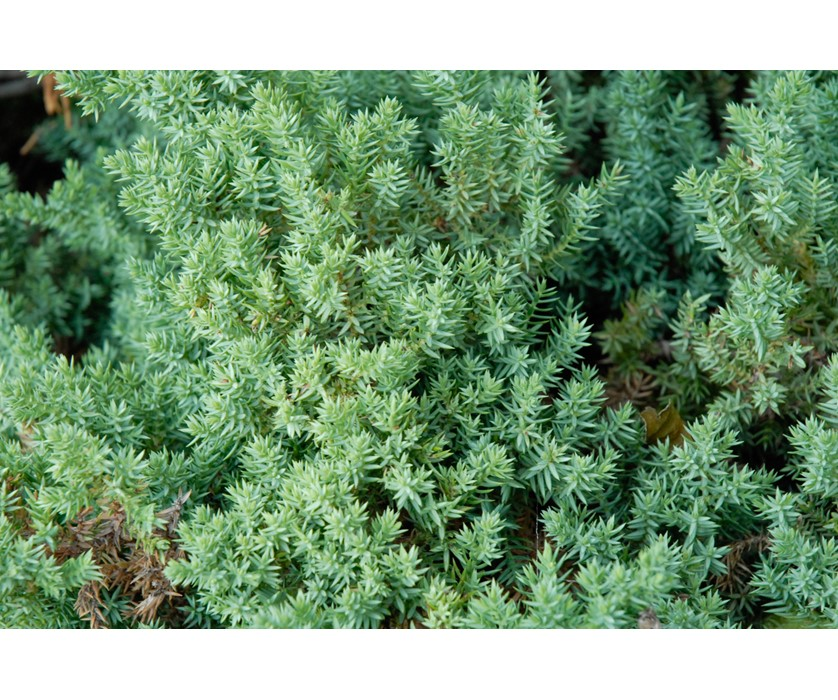 Dwarf Creeping Juniper