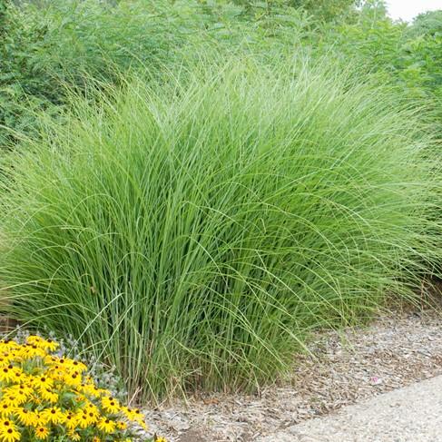 Colorado springs utilities xeriscaping maiden grass for Maiden grass