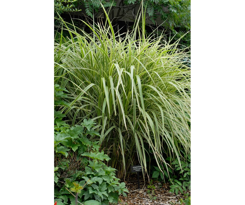 Variegated Maiden Grass