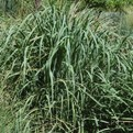 Shenandoah Switchgrass