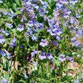Silverton Bluemat Penstemon