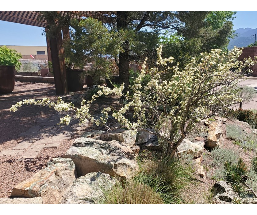 Stansbury's Cliffrose