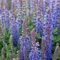 Sensation Deep Blue Sage