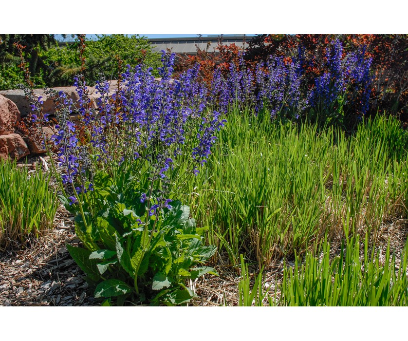 Meadow Clary Sage