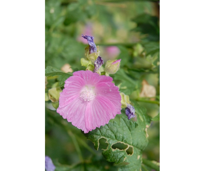 Party Girl Prairie Mallow