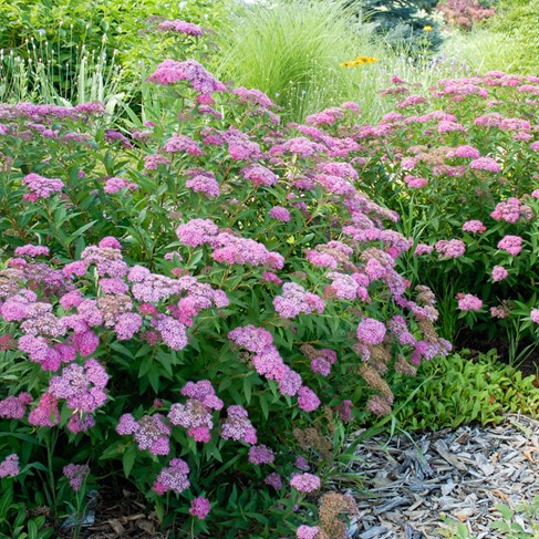 colorado springs utilities xeriscaping anthony waterer spirea. Black Bedroom Furniture Sets. Home Design Ideas