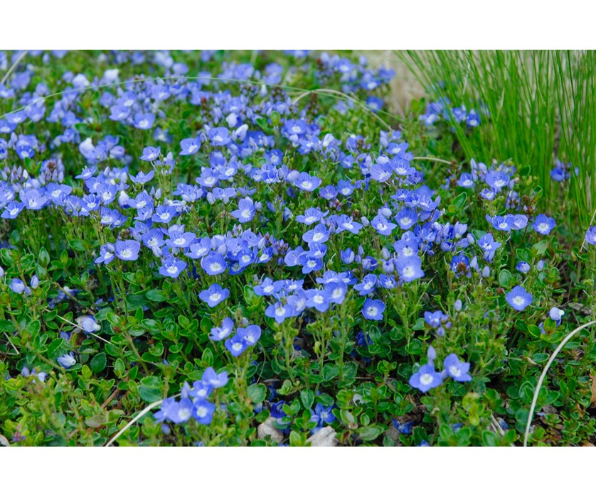 Colorado Springs Utilities Xeriscaping Turkish Veronica